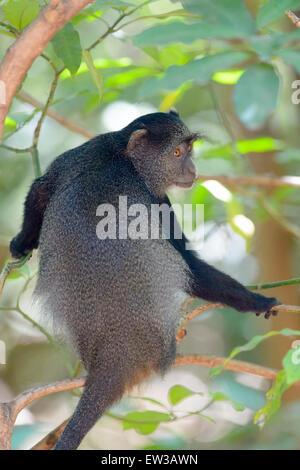 Blue Monkey (Cercopithecus mitis) in tree, seen from behind, looking back, Lake Manyara National Park, Tanzania - Stock Photo