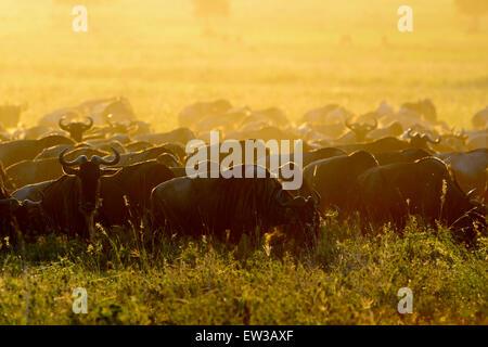 Wildebeests (Connochaetes taurinus) herd grazing during migration at sunrise, Serengeti national park, Tanzania. - Stock Photo