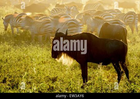 Wildebeests (Connochaetes taurinus) standing on savanna and plain zebra (Equus quagga) with motion blur, at sunrise, - Stock Photo