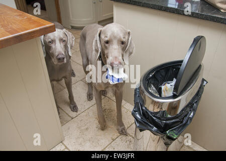 Domestic Dog, Weimaraner, short-haired variety, two adults, raiding bin in kitchen, England, January - Stock Photo