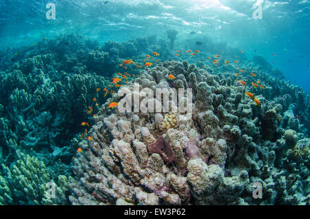 Sea Goldie's swimming over a reef in the Red Sea, Egypt. - Stock Photo