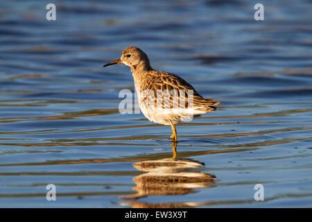 Ruff (Philomachus pugnax) female foraging in shallow water of wetland - Stock Photo