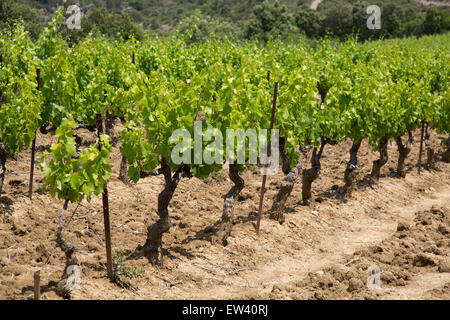 Vineyards in the South of France at Mayronnes, Languedoc-Roussillon, France. This is at the heart of wine production - Stock Photo