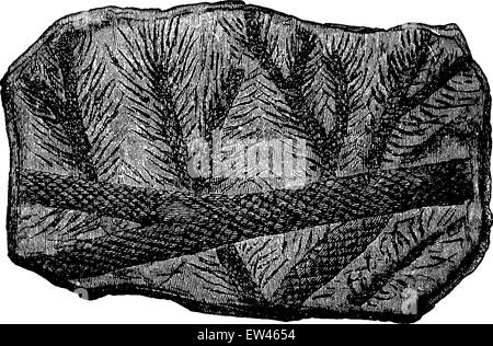 Fossil Lepidodendron branches, vintage engraved illustration. Earth before man – 1886. - Stock Photo