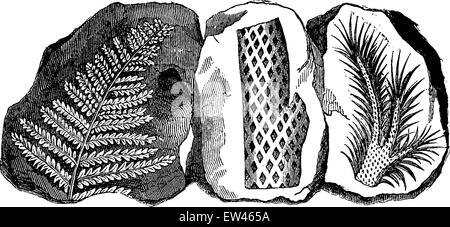 Fossil footprints of a fern, a truncated Lepidodendron and a branch of the same tree, vintage engraved illustration. - Stock Photo