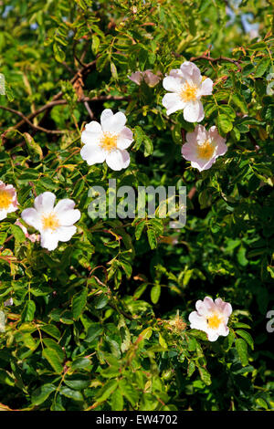Wild dog rose Rosa canina in flower - Stock Photo