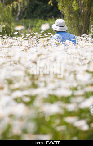 person surrounded by masses of Oxeye daisies, Leucanthemum vulgare, growing in summer at Dorset - Stock Photo