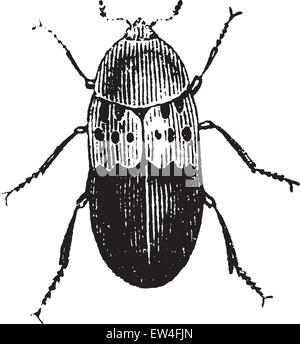 Larder beetle, vintage engraved illustration. Natural History of Animals, 1880. - Stock Photo
