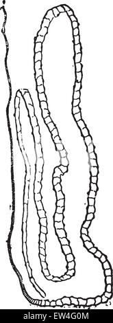 Worm Natural History Illustration