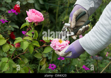 Gardener wearing gardening gloves deadheading Rosa Gertrude Jekyll rose with secateurs in a garden - Stock Photo