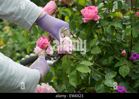 Gardener wearing gardening gloves deadheading Rosa Gertrude Jekyll rose with secateurs in a garden - Stock Photo