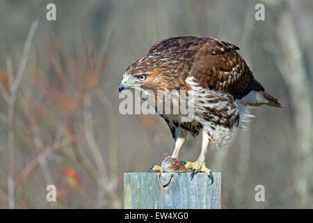 Red-tailed Hawk Eating Prey - Stock Photo