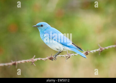 A beautiful male Mountain bluebird (Sialia currucoides) perched on barbed wire near Tofield, Alberta, Canada. - Stock Photo