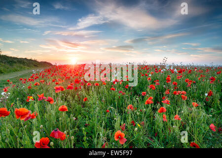 A field of wild flowers and bright red Poppies at Crantock near Newquay in Cornwall - Stock Photo