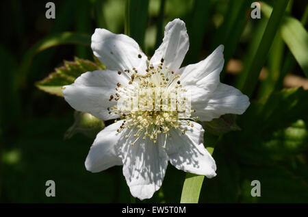 A bramble or blackberry, Rubus fruticosus, white Rosaceae flower, Berkshire, June - Stock Photo