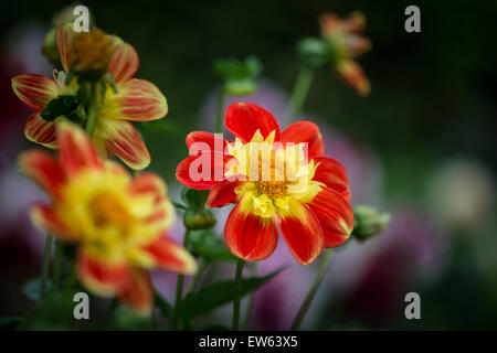 Hamburg, Germany, in Hamburg Dahlia dahlia garden - Stock Photo
