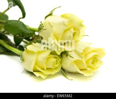 yellow-green rose flowers macro on white background - Stock Photo