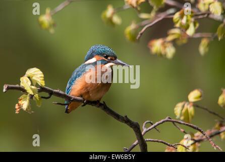 Kingfisher on perch - Stock Photo