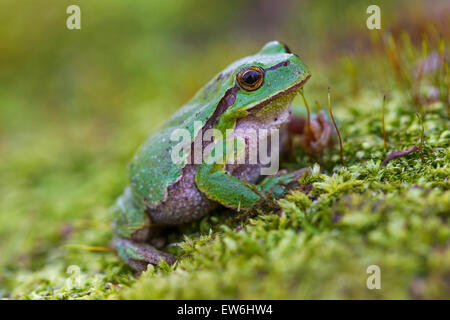 European tree frog (Hyla arborea / Rana arborea) sitting on moss - Stock Photo