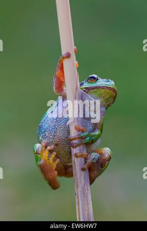 European tree frog (Hyla arborea / Rana arborea) climbing reed stem in wetland - Stock Photo