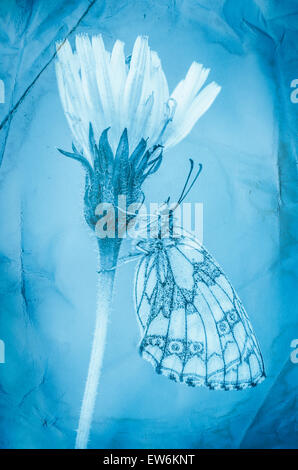 Cyanotype butterfly and flower - Stock Photo