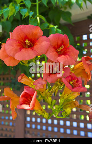 Campsis radicans 'Indian Summer' Trumpet Vine  or Trumpet Creeper cluster of flowers. - Stock Photo