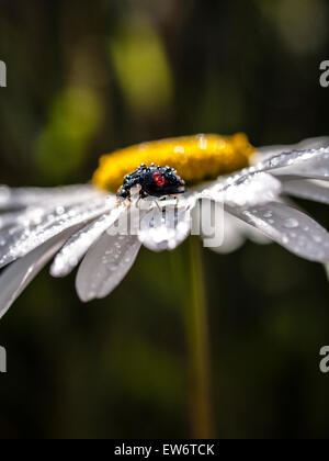 Ladybird on giant daisy - Stock Photo