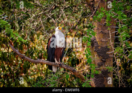 African fish eagle, Haliaeetus vocifer, Murchison Falls National Park, Uganda, Africa - Stock Photo