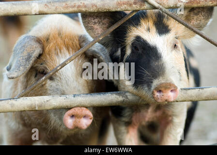 Piglet(Sus scrofa domestica) on a organic farm ecological Wales UK Europe - Stock Photo