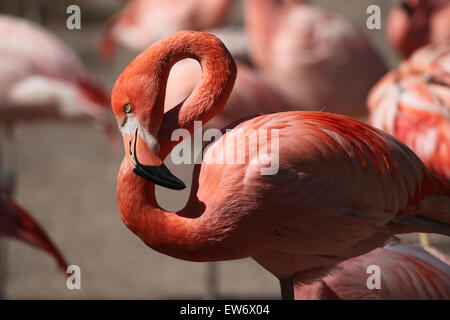 Caribbean flamingo (Phoenicopterus ruber), also known as the American flamingo at Prague Zoo, Czech Republic. - Stock Photo