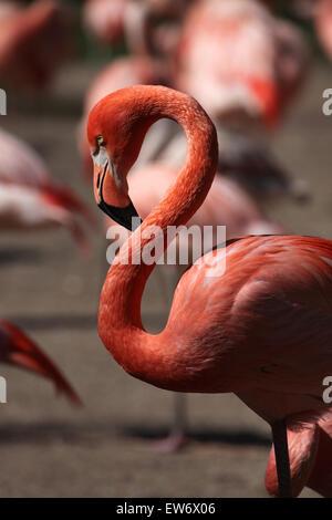 Caribbean flamingo (Phoenicopterus ruber), also known as the American flamingo at Prague Zoo, Czech Republic. - Stock Photo