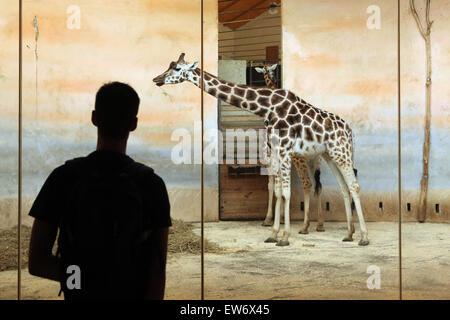 Visitor looks at the Rothschild's giraffe (Giraffa camelopardalis rothschildi) at Prague Zoo, Czech Republic. - Stock Photo