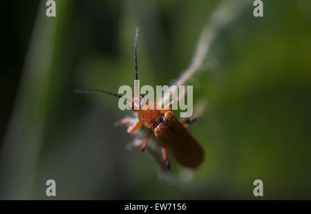 A red bug perches on a plant in Prado del Rey, Sierra de Cadiz, Andalusia, Spain - Stock Photo