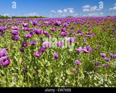Blooming opium poppy - Stock Photo