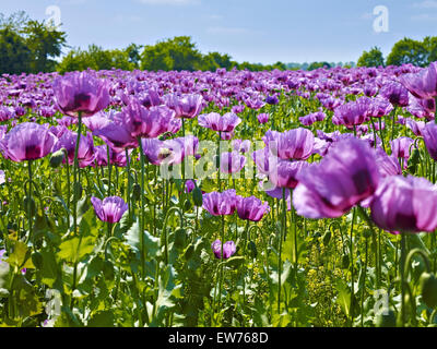 Blooming opium poppy - Stock Photo