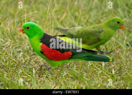 Spectacular male and female red-winged parrots Aprosmictus erythropterus, Australian native wild birds on lawn in - Stock Photo