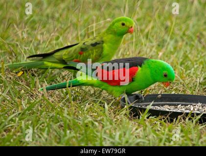 Spectacular male and female red-winged parrots Aprosmictus erythropterus, Australian native birds at bird feeding - Stock Photo