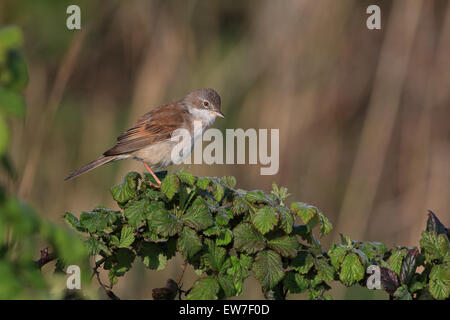 Whitethroat (Sylvia communi) - Stock Photo