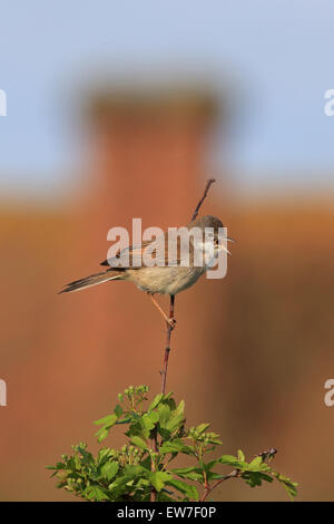 Whitethroat (Sylvia communi) - Stock Photo