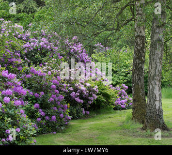 Rhododendron bushes in flower in an English Garden - Stock Photo