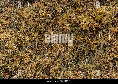 Dry Dead Grass Texture Background Closeup - Stock Photo
