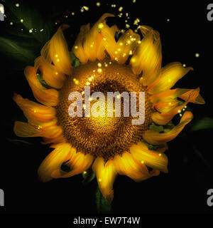 Close-up of a back-lit sunflower with sparkles - Stock Photo