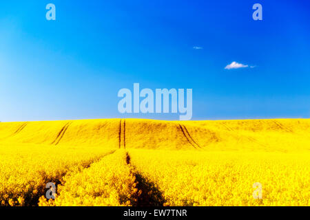 Yellow rapeseed field and blue sky, UK - Stock Photo