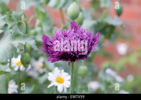 Papaver somniferum. Purple poppy in an English garden - Stock Photo