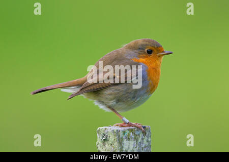 Ringed European robin (Erithacus rubecula) perched on fence post - Stock Photo
