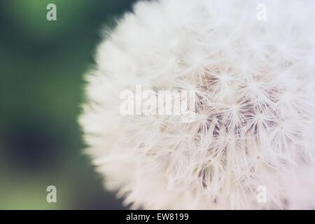 Retro Effect Of Spring Dandelion Macro - Stock Photo