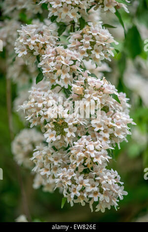 Beauty bush blossom Linnaea Kolkwitzia amabilis - Stock Photo