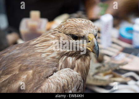 New York, USA. 19th June, 2015. A stuffed Golden Eagle and other endangered species in Times Square in New York - Stock Photo