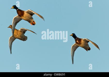 A flying flock of Mallard Ducks - Stock Photo