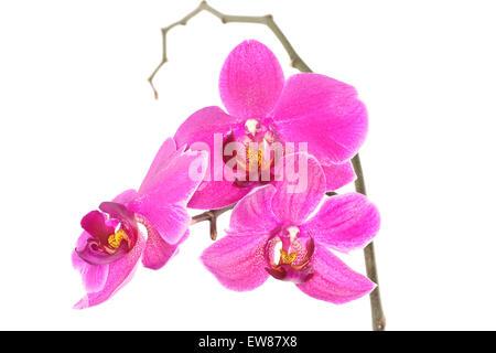Purple Orchid (Phalaenopsis) isolated on white background - Stock Photo